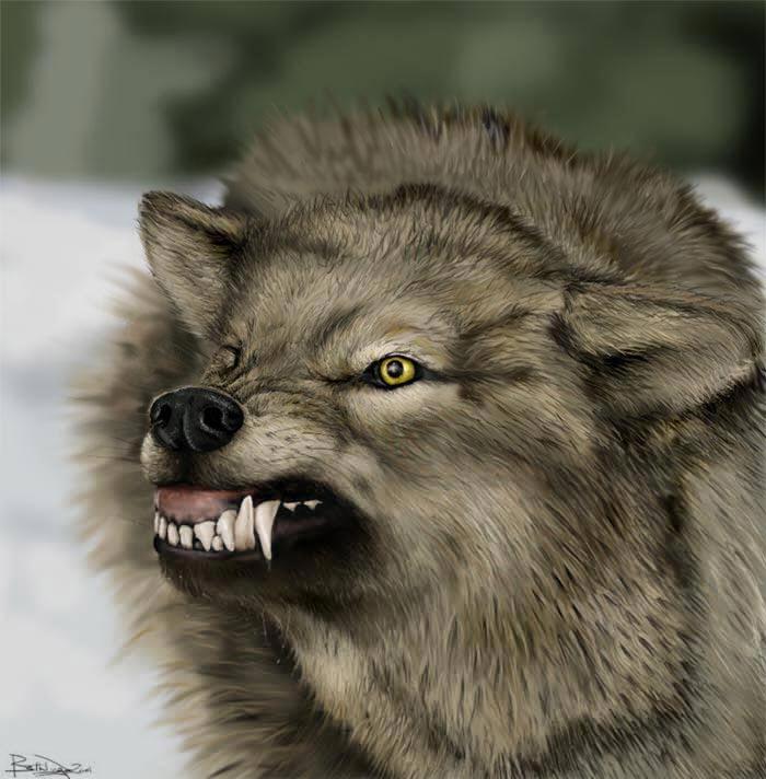 Wolf Germany wolves wreak havoc in germany